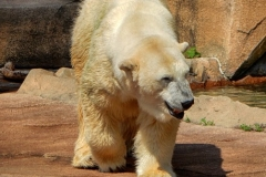 Polar Bear Milwaukee Zoo