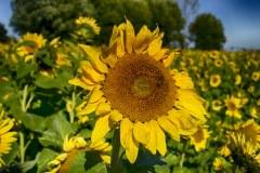 Sunflower-2